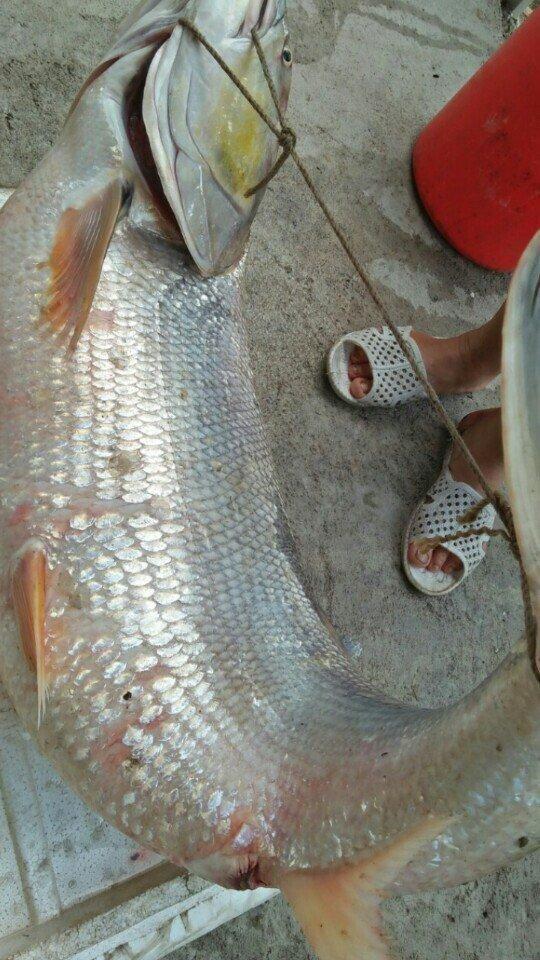 Cá măng sông Đà 35 kg: Hàng hiếm, chỉ dành cho đại gia-1