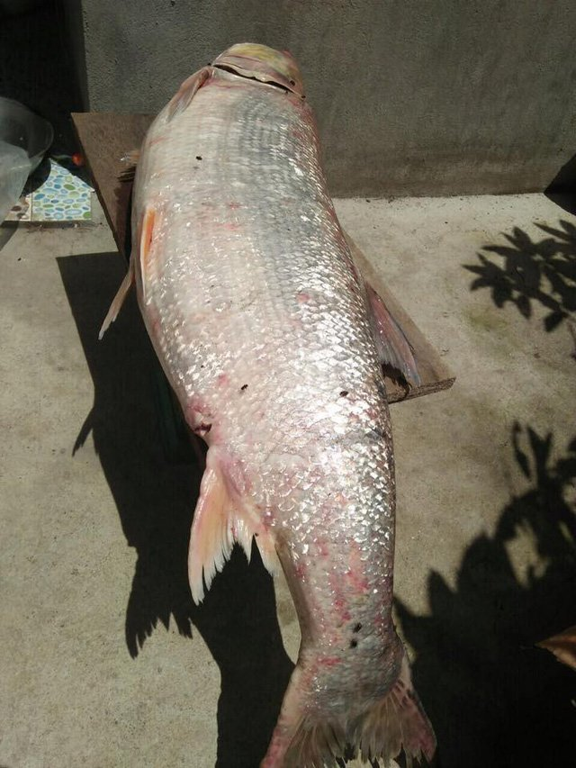Cá măng sông Đà 35 kg: Hàng hiếm, chỉ dành cho đại gia-3