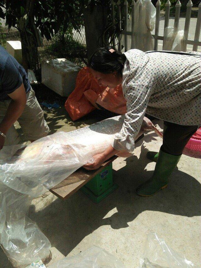 Cá măng sông Đà 35 kg: Hàng hiếm, chỉ dành cho đại gia-5