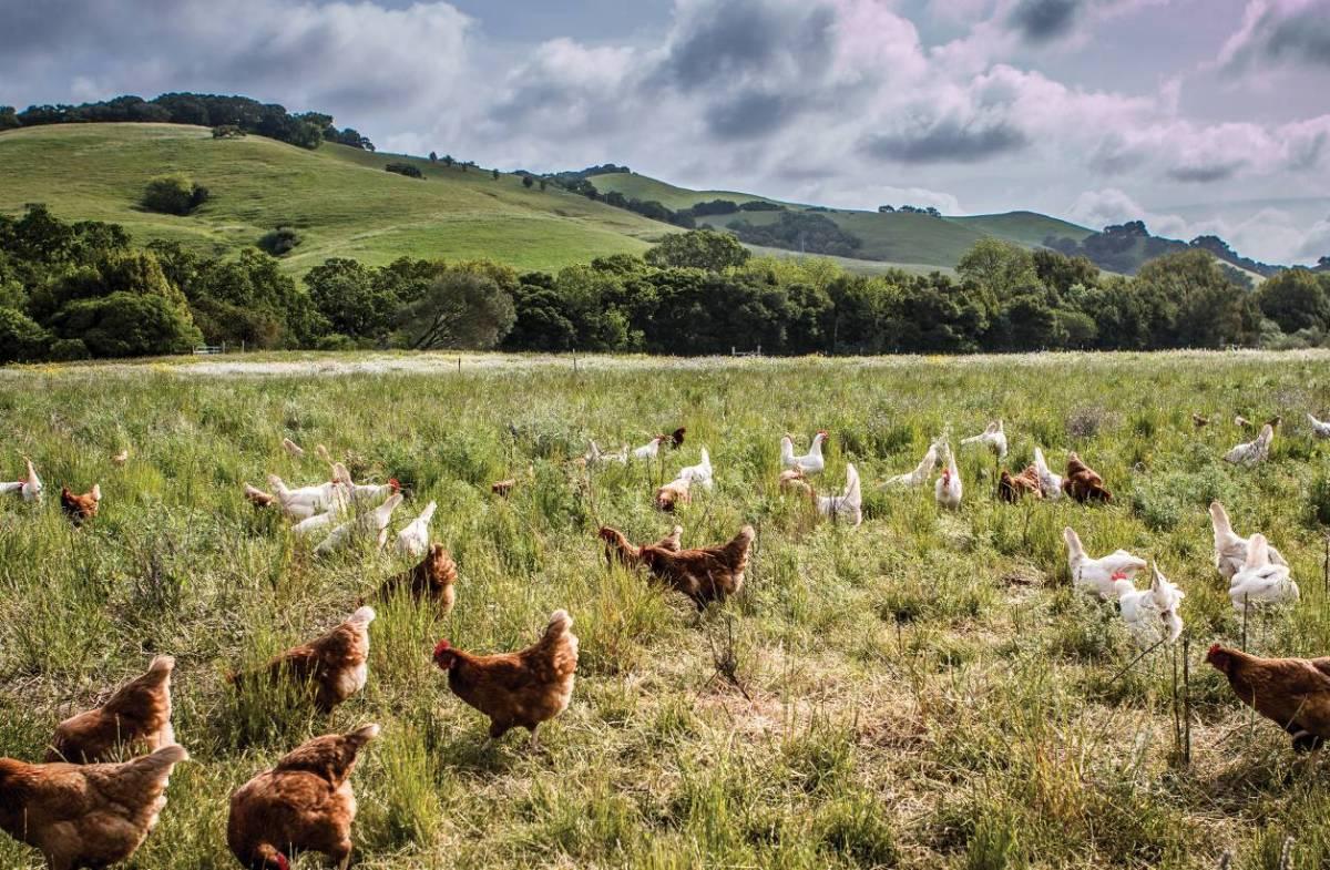 Từ 20 con gà thả đồi, ông Tây thu nhập hơn 2.200 tỷ/năm-1