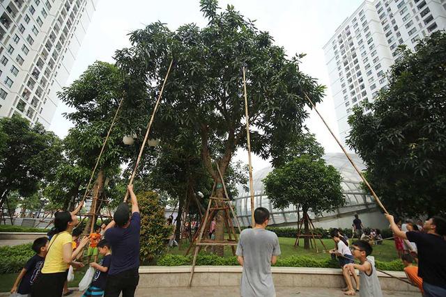 Chuyện lạ Hà Thành: Dân phố kéo ra vỉa hè mở hội hái xoài-5