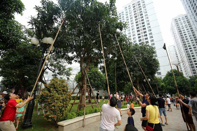 Chuyện lạ Hà Thành: Dân phố kéo ra vỉa hè mở hội hái xoài-6