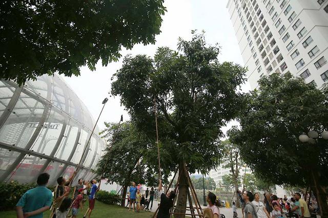 Chuyện lạ Hà Thành: Dân phố kéo ra vỉa hè mở hội hái xoài-7