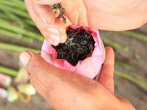 Tận mắt ngắm những búp sen trà giá 4 triệu đồng/kg gây sốt Hà thành