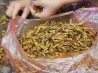 Dân Hà Nội vặt cánh châu chấu mùa World Cup: Thiếu hàng 'xuất khẩu' về các quán nhậu!