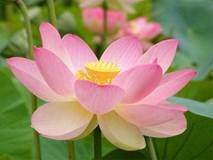 15 công dụng của loài hoa chị em