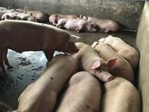 Ngày nắng nóng khủng khiếp: Đàn lợn lăn ra chết cả loạt