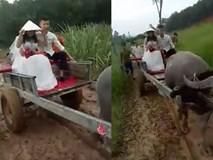 Dân mạng thích thú với clip chú rể đánh xe trâu đi rước dâu ở Nghệ An