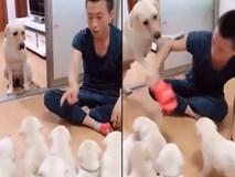 Cảm động xem cảnh chó mẹ ngăn chủ không cho đánh đàn chó con