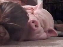 Chú lợn dành cả tuổi thanh xuân chỉ để... ngủ