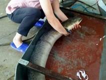 Bắt được cá lệch khổng lồ dài 1,6 m: Chưa từng thấy bao giờ