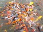 Cận cảnh chú cá Koi đắt nhất thế giới giá 42 tỷ đồng-3