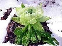 Hoa sen núi tuyết: Bảy năm mới nở hoa, 100 triệu/kg uống tăng sinh lực
