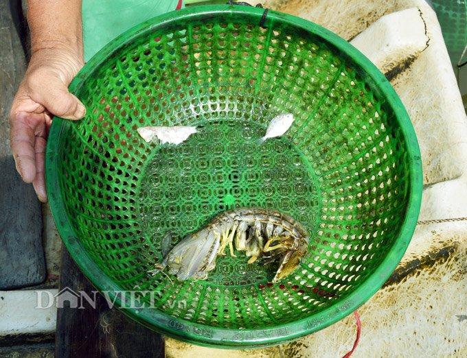 Sự thật tôm tích đắt nhất quả đất ở vùng Đất mũi Việt Nam-4