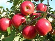 Táo là loại trái cây
