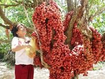Loại cây quả mọc từ thân đỏ rực tại Gia Lai 'hút khách'