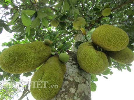Tự tay lai tạo giống mít ra trái khổng lồ, lời gần 1 tỷ đồng/năm-1