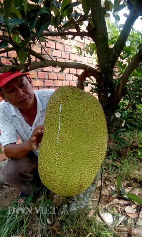 Tự tay lai tạo giống mít ra trái khổng lồ, lời gần 1 tỷ đồng/năm-4