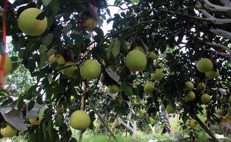 Vườn bưởi 8.000 quả hiếm có của lão nông Phúc Trạch-1