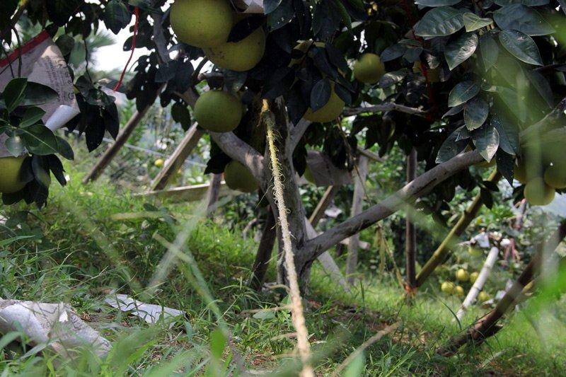 Vườn bưởi 8.000 quả hiếm có của lão nông Phúc Trạch-10