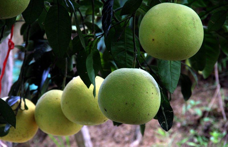 Vườn bưởi 8.000 quả hiếm có của lão nông Phúc Trạch-12