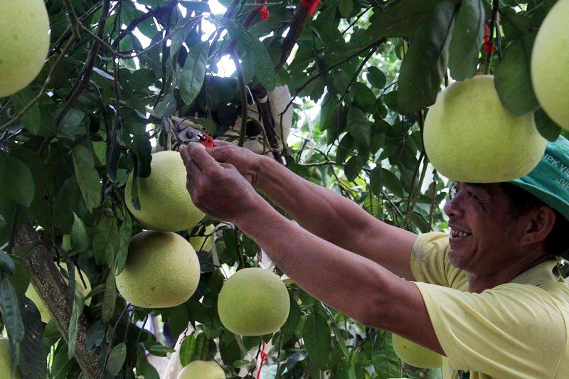 Vườn bưởi 8.000 quả hiếm có của lão nông Phúc Trạch-13