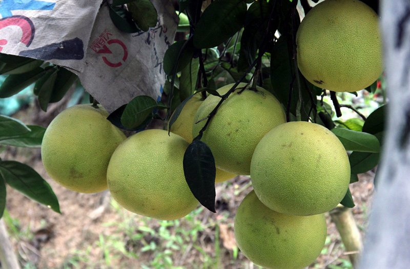 Vườn bưởi 8.000 quả hiếm có của lão nông Phúc Trạch-14
