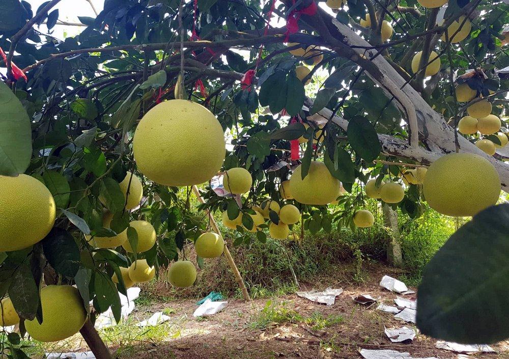 Vườn bưởi 8.000 quả hiếm có của lão nông Phúc Trạch-2