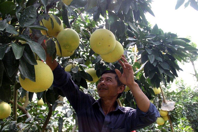Vườn bưởi 8.000 quả hiếm có của lão nông Phúc Trạch-3
