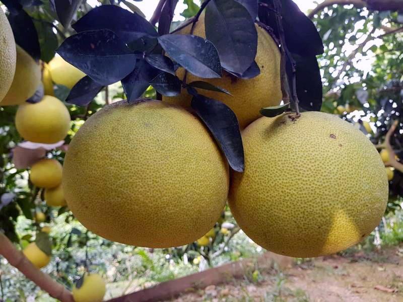 Vườn bưởi 8.000 quả hiếm có của lão nông Phúc Trạch-4