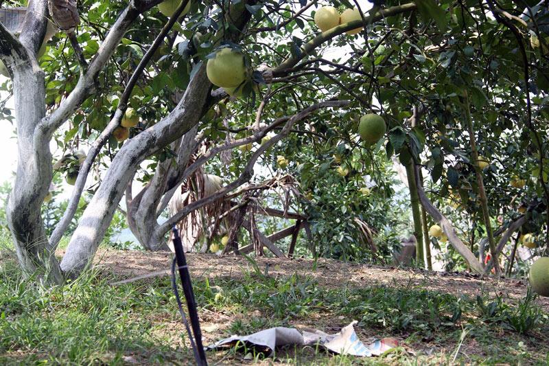 Vườn bưởi 8.000 quả hiếm có của lão nông Phúc Trạch-5