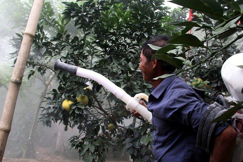 Vườn bưởi 8.000 quả hiếm có của lão nông Phúc Trạch-6