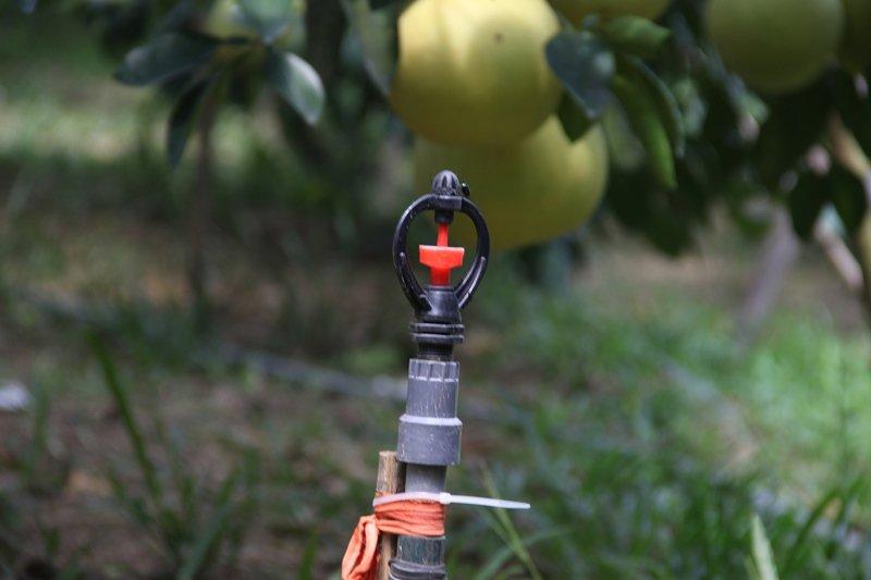 Vườn bưởi 8.000 quả hiếm có của lão nông Phúc Trạch-7