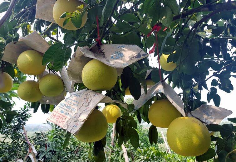 Vườn bưởi 8.000 quả hiếm có của lão nông Phúc Trạch-8