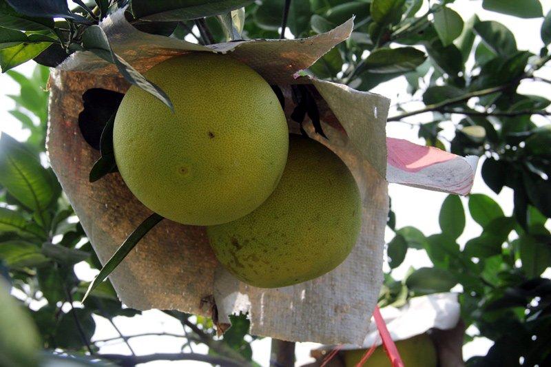 Vườn bưởi 8.000 quả hiếm có của lão nông Phúc Trạch-9