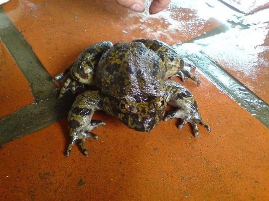 Có loài ếch đại gia giúp quý ông thăng hoa ở Lạng Sơn?-1