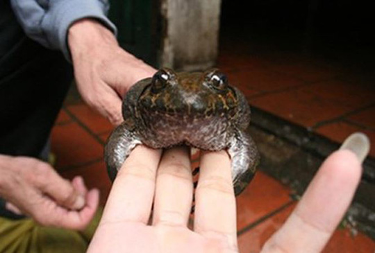Có loài ếch đại gia giúp quý ông thăng hoa ở Lạng Sơn?-3