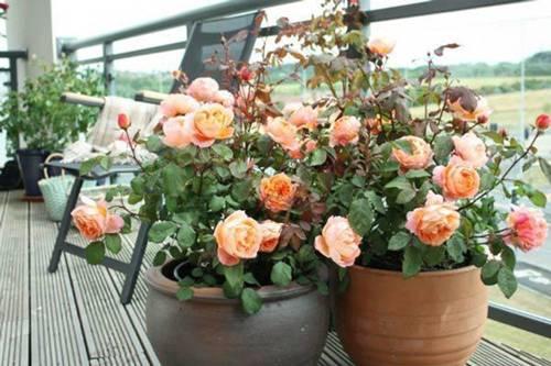 Trồng hoa hồng bằng cành nhanh, gọn mà cây vẫn khỏe, nở hoa to-1