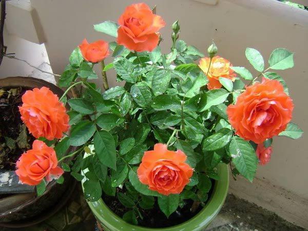 Trồng hoa hồng bằng cành nhanh, gọn mà cây vẫn khỏe, nở hoa to-8