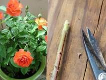 Trồng hoa hồng bằng cành nhanh, gọn mà cây vẫn khỏe, nở hoa to