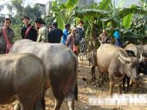 Kinh dị chuyện trâu hóa điên húc người ở làng mổ trâu lớn nhất Việt Nam