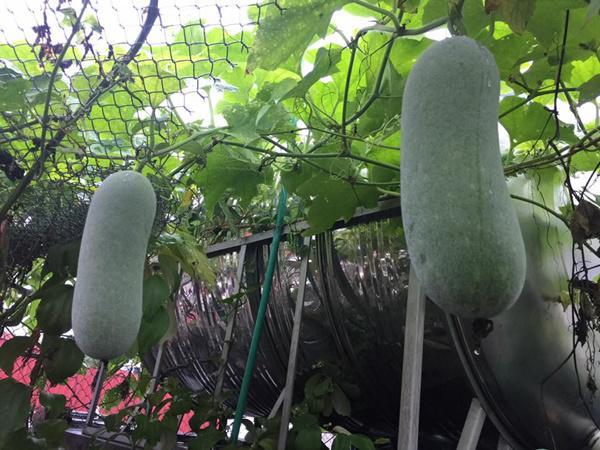 Chỉ 40m² sân thượng, mẹ Hà Nội gây bất ngờ với vườn ngập rau trái, gà, trứng ăn quanh năm-8