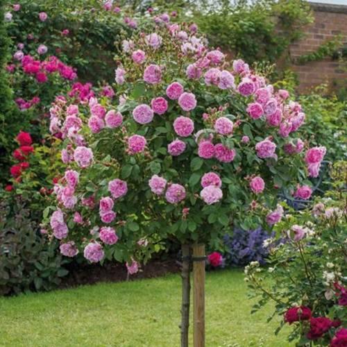 Vườn hồng vài nghìn gốc siêu quý 3000m2 của hot girl 8x Thái Nguyên-4