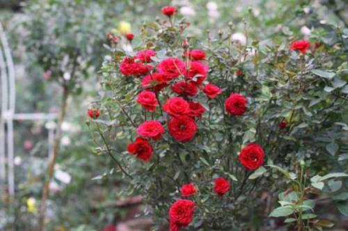 Vườn hồng vài nghìn gốc siêu quý 3000m2 của hot girl 8x Thái Nguyên-5