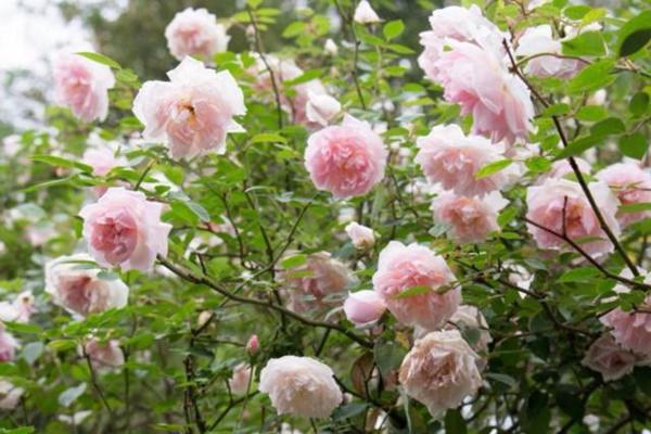 Vườn hồng vài nghìn gốc siêu quý 3000m2 của hot girl 8x Thái Nguyên-10