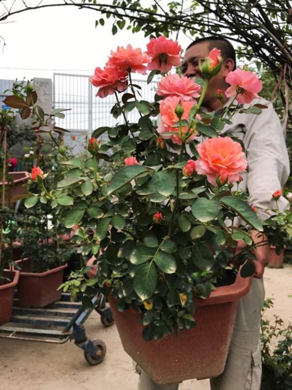 Vườn hồng vài nghìn gốc siêu quý 3000m2 của hot girl 8x Thái Nguyên-11