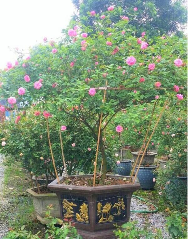Vườn hồng vài nghìn gốc siêu quý 3000m2 của hot girl 8x Thái Nguyên-13