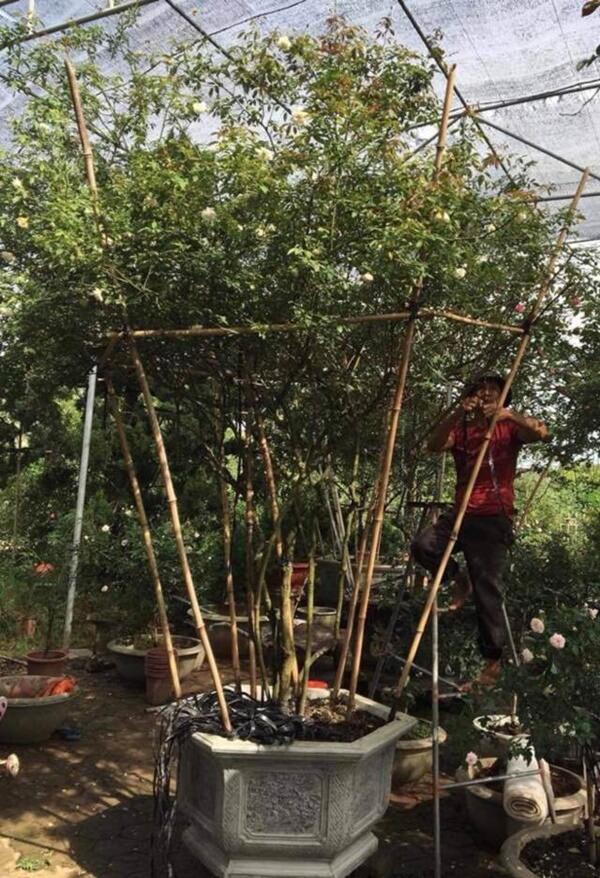 Vườn hồng vài nghìn gốc siêu quý 3000m2 của hot girl 8x Thái Nguyên-14