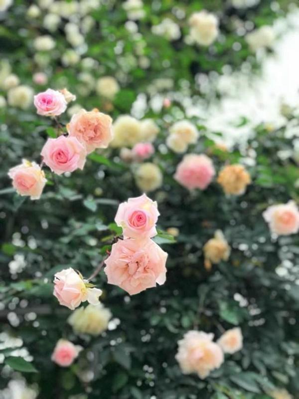 Vườn hồng vài nghìn gốc siêu quý 3000m2 của hot girl 8x Thái Nguyên-15