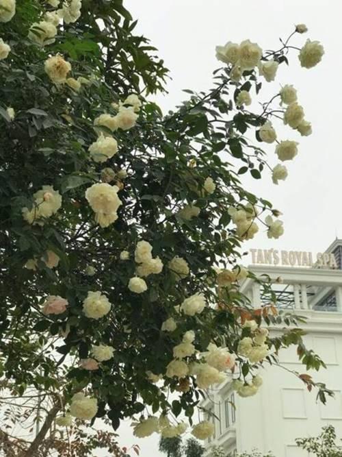 Vườn hồng vài nghìn gốc siêu quý 3000m2 của hot girl 8x Thái Nguyên-7